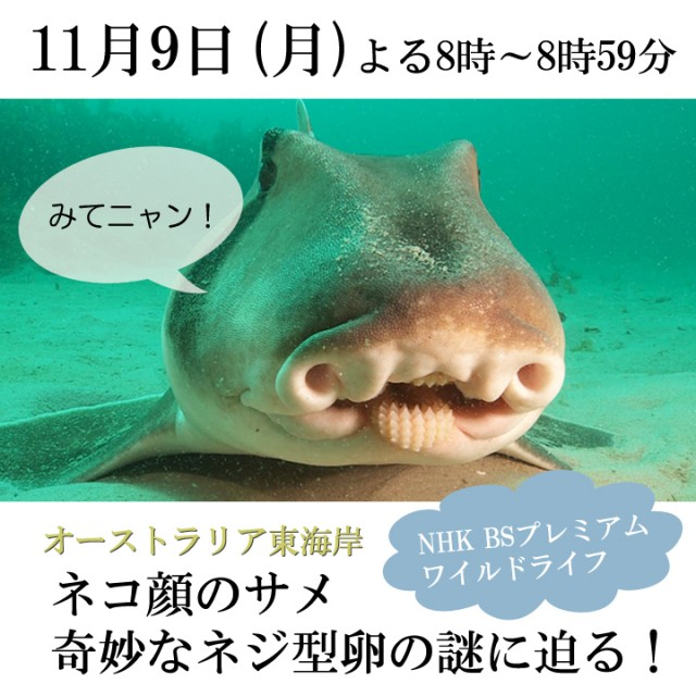 WLネコザメ