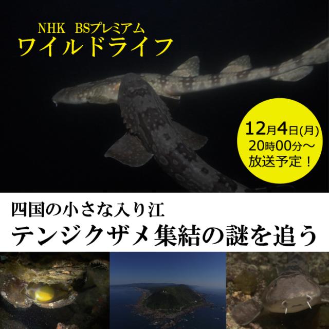 テンジクザメ集結の謎を追う