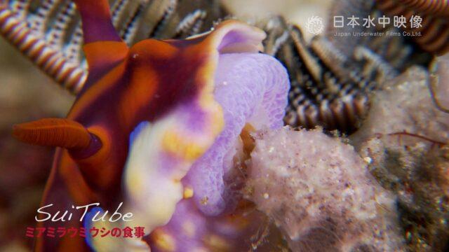 ミアミラウミウシが海の中でカイメンを食べる