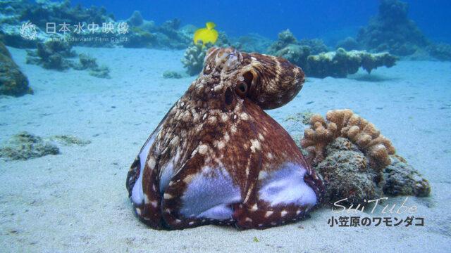 ワモンダコがサンゴに抱きつき食事をしている